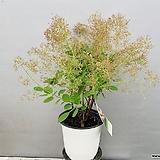 영레이디 자엽안개나무 (동일품배송)|
