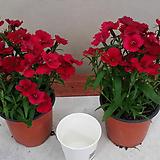 석죽.패랭이.(빨강색).2개.월동짱!.늦가을까지 꽃이 계속하여 핍니다.|