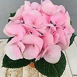 분홍수국|Hydrangea macrophylla
