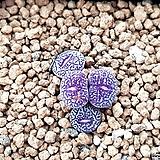위트버젠스g타입|Conophytum Wittebergense