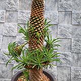 괴마옥 자연대품군생|Euphorbia hypogaea