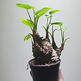 뚱알로카시아소중품공기정화식물20307940|Alocasia