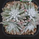 화이트그리니 자연목대 137|Dudleya White gnoma(White greenii / White sprite)
