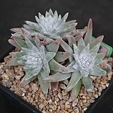 화이트그리니 자연목대 138|Dudleya White gnoma(White greenii / White sprite)