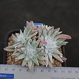 화이트그리니 자연목대 139|Dudleya White gnoma(White greenii / White sprite)