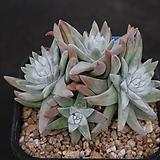 화이트그리니 자연목대 140|Dudleya White gnoma(White greenii / White sprite)