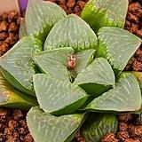 성영 (무금묘) (星影 (無錦苗))-04-07-No.1490 Echeveria elegans Potosina