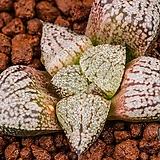 특백 픽타 실생(特白picta seeding)-04-07-No.1304|Haworthia picta