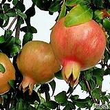 무료배송~슈퍼석류나무(왕석류나무) 열매석류 과실수 유실수 석류나무|