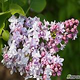 라일락(미첼 부흐너) 수수꽃다리|Echeveria cv Peale von Nurnberg