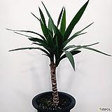 유카나무(관엽식물) 인테리어 식물 개업 축하식물|