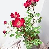벨벳찔레(예쁜수형)고급수제분 완성분세트/분갈이/마사 Handmade Flower pot