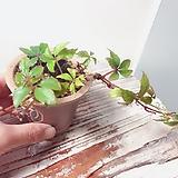 오엽담쟁이(수채화를 담은듯 미니미니한 오엽이 아름다운)수제분완성분세트/분갈이/마사/화산석 Handmade Flower pot