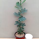 은엽아카시아(외목수형)|