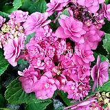 히미코수국(꽃대수형)|