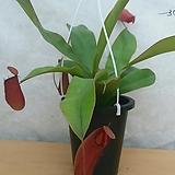 네펜데스/식충식물 