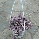 핑크레이디 달개비 
