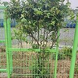 흑등나무|