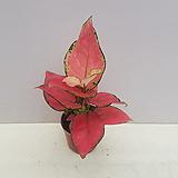 아그라오네마 핑크(소품)|