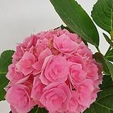 색감 너무 예쁜 겹핑크수국|Hydrangea macrophylla