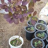 자엽안개나무,단품|