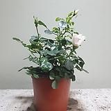 웨딩찔레야생화공기정화식물15205930|