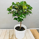 스윗하트고무나무 (동일품배송)|Ficus elastica