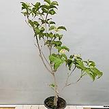 산딸나무 (노지월동가능)|