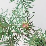 솔잎대극 수제도자기분 행잉완성분(빨갛게물든 꽃과 솔잎의 향연/유칼립투스 건조목데코)|