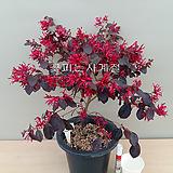 자엽붉은풍년화-(외목수형/1)-동일품배송|