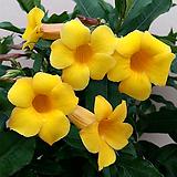 알라만다(꽃대대품)|