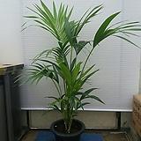 겐자야자나무/멋스러워요/높이/125센치/사진상품 