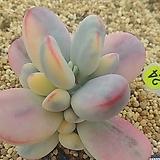 방울복랑금05198|Cotyledon orbiculata cv variegated