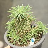괴마옥 860519 Euphorbia hypogaea