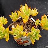 긴잎적성 자연군생 목대-18|Echeveria agavoides Akaihosi