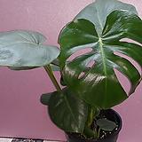 몬스테라1 [공기정화식물 ] 