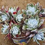 환엽블러쳐스 대형종 10두자연군생 목대꿀벅지|Dudleya farinosa Bluff Lettuce