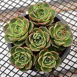 환엽 롱기시마_w205|Echeveria longissima
