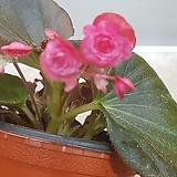 팝콘베고니아   빨강|Begonia