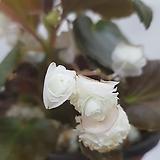 팝콘베고니아   흰색|Begonia