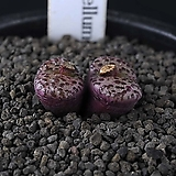XP3491-Conophytum  obcordellum  홍문(紅紋)2두|
