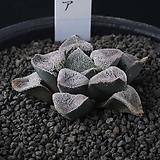 XP3504-ピグマエア  피그마에아|Haworthia pygmaea