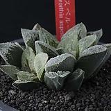 XP3507-Haworthia asperula 아스페루라2두|