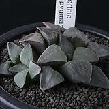 XP3508-Haworthia blue pygmaea 블루피그마에아2두|Haworthia pygmaea