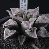 XP3513-特ケバ・ピグマエア 특 게파 피그마에아|Haworthia pygmaea