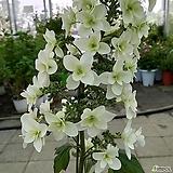 (겹꽃)떡갈잎수국(대품)|Hydrangea macrophylla