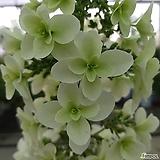 *초특가* (겹)떡갈잎 수국(노지월동)(중품)|Hydrangea macrophylla