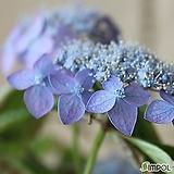 아이히메(산수국)|Hydrangea macrophylla