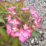 정수국|Hydrangea macrophylla