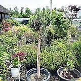 올리브나무(호지블랑카)(특대품)|